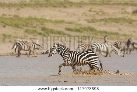 Male Zebra Running Through Water, Calling, Serengeti, Tanzania