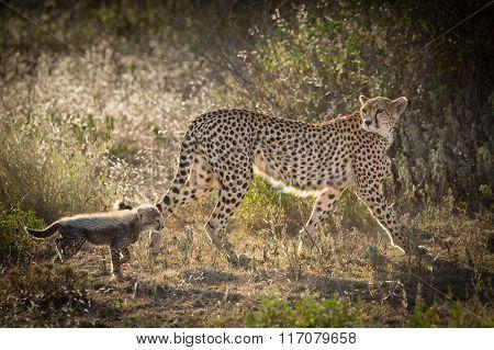 Female Cheetah With One Cub, Ndutu, Serengeti, Tanzania