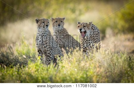 Female Cheetah And Her Two Sub Adult Cubs, Ndutu, Serengeti, Tanzania