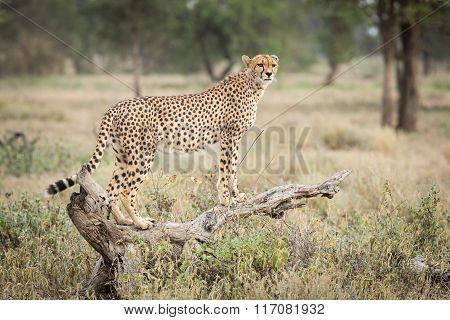 One Adult Female Cheetah Standing On A Dead Log In Ndutu, Serengeti, Tanzania
