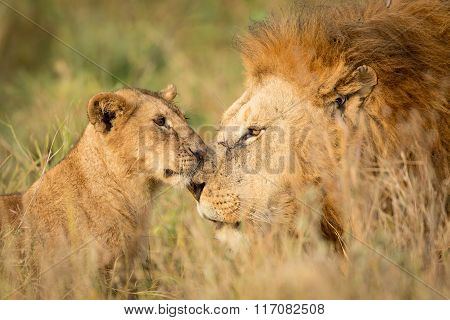 Young Lion Cub Greeting A Large Male Lion In The Serengeti, Tanzania