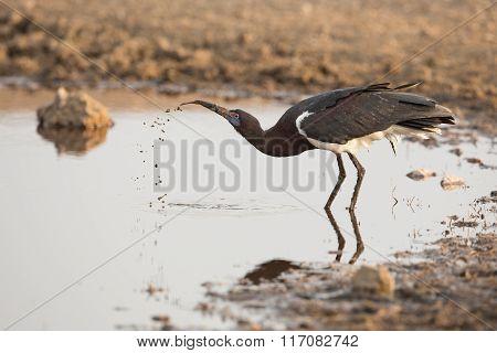 One Abdims Stork Drinking Water, Serengeti, Tanzania