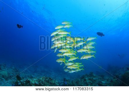Fish school of Yellowfin Goatfish