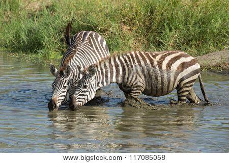 Two Plains Zebra Drinking Water In The Serengeti, Tanzania