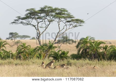 Pride Of African Lions In The Serengeti, Tanzania