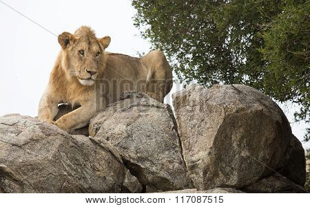 Sub Adult Male African Lion Resting On A Rock On The Serengeti, Tanzania