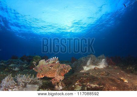 Coral reef scorpionfish sea ocean underwater