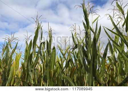 Field Of Maize Plants