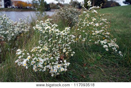Frost asters (Symphyotrichum pilosum), also called hair asters and hairy white oldfield asters, bloom next to a small, man-made lake in Joliet, Illinois, during October. poster