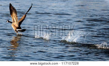 Canada Goose Taking Flight On Water