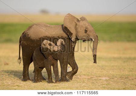 Two Young Elephants, Amboseli, Kenya