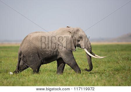 A Bull Elephant In Amboseli, Kenya