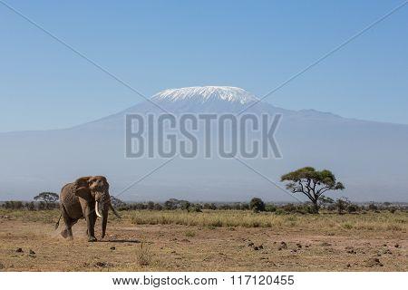 Bull Elephant With Kilimanjaro In Background, Amboseli, Kenya