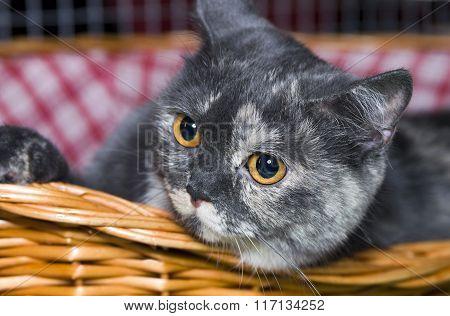 Cat Scottish  in a basket