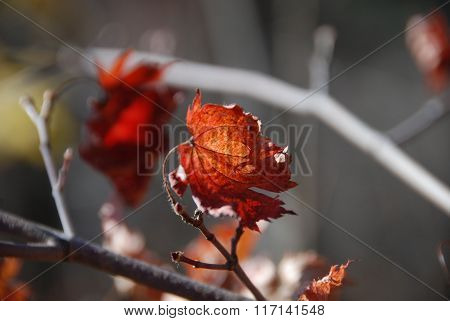Autumn, Red Maple Leaf