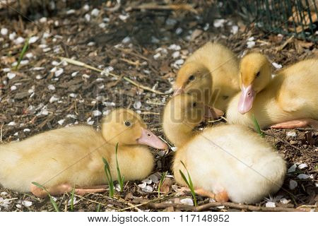 Young duck. Little yellow duckling