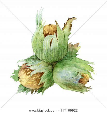 Hazel nut on white background. Watercolor illustration