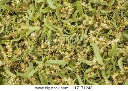 Background image of fresh tilia flowers texture