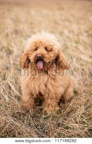 Red Poodle Dog