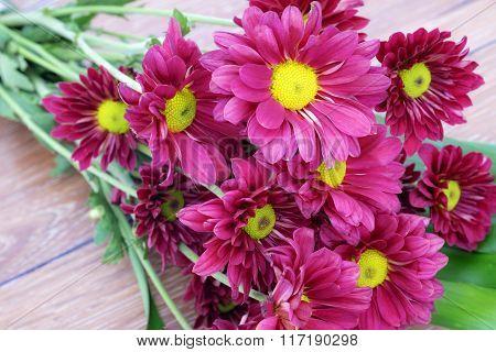 Beautiful Pink Chrysanthemum flower