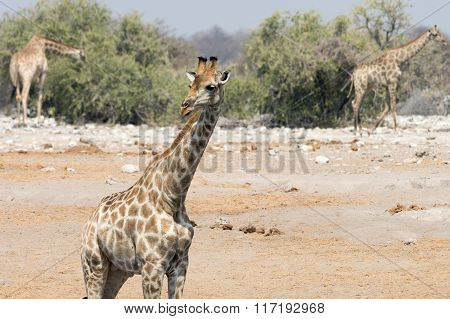 Group Of Giraffees