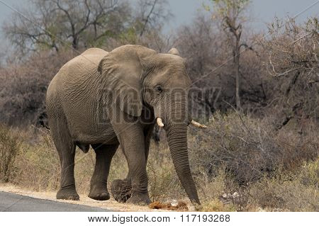 Elephant Walking Along Tared Road