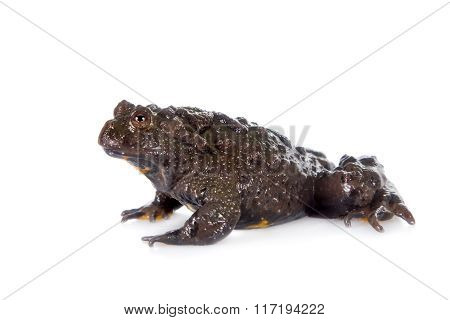 Hubei firebelly Toad, Bombina microdeladigitora, on white