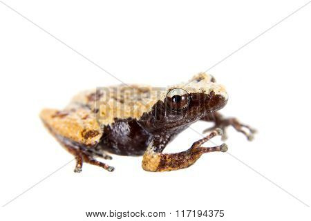 Theloderma chyangsinense, rare spieces of mossy frog on white