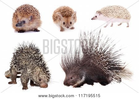 Porcupines and hedgehogs set on white