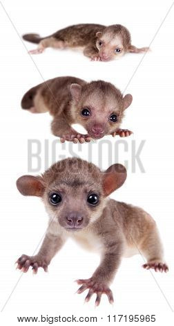 Kinkajou, Potos flavus, grow up set on white