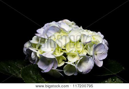 White Hydrangea Over Black Background.