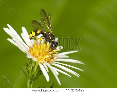 Small Colorful Wasp