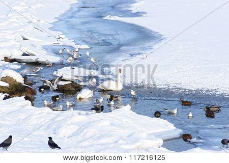 Swans And Ducks In Langelinie Park Pond In Winter Copenhagen