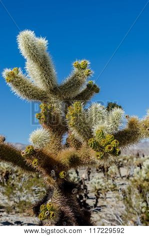 New Growth On Cholla Cactus