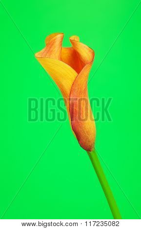 Orange Calla Lily Flower