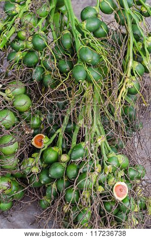 Betel Palm Or Betel Nut