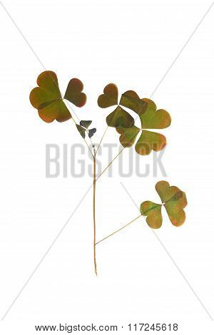 Pressed And Dried Leaf Oxalis Isolated.