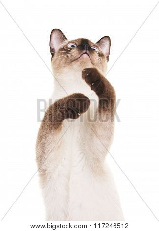 Thai Cat With Raised Paw