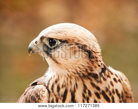 Portrait of saker falcon