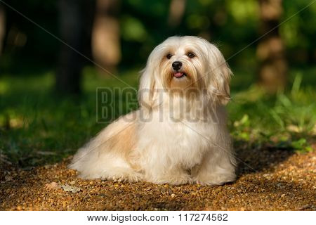 Beautiful Happy Havanese Dog Is Sitting On A Sunny Forest Path