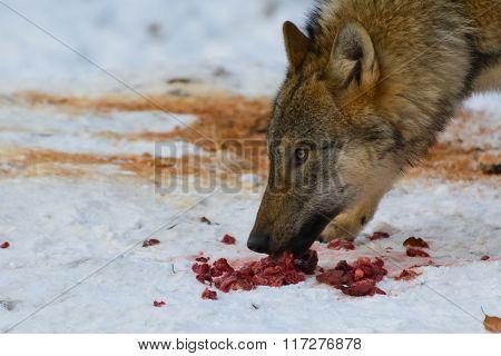 European Grey Wolf (Canis Lupus Lupus)