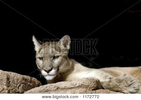 Mountain Lion Pct5225