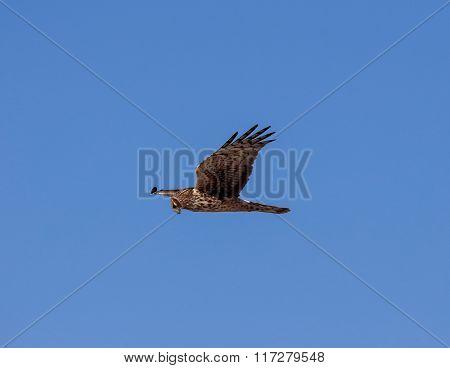 Female Harrier hunting
