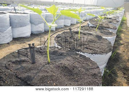 Drip Irrigation System In A Melon Farm