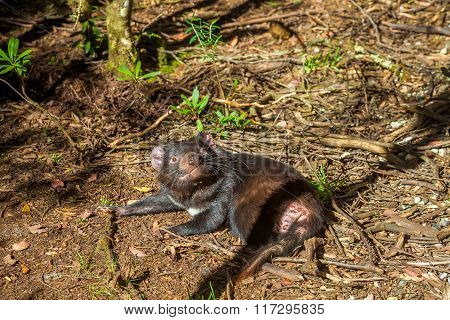 Tasmanian Devil lying