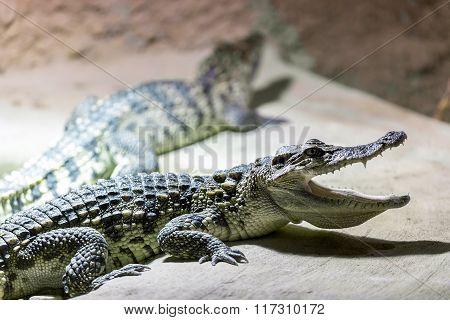 Small Crocodile Showin His Teeth