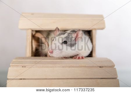 Rat In A Wooden House