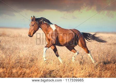 Red Piebald Horse Run