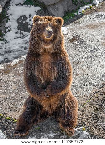 Brown  Grizzly Bear On A Rock. Close -up