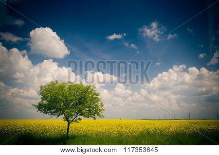 Yellow field of rape
